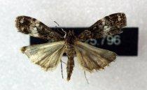 Image of Specimen, Lepidoptera - To light, suburban garden, Highfield, Timaru. 07/01/2005.