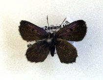 Image of Specimen, Lepidoptera - Boulder Copper Butterfly,  mounted on pin.  Common in flight or resting on ground, low scrub/pasture, lakeside terrace. 720asl. Part of series of two Tekapo River, Lake Tekapo Village, MK. 18/12/2007.