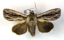Image of Specimen, Lepidoptera - Southern Armyworm Moth, mounted on pin. Highfield, Timaru. 20/09/2007.