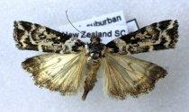 Image of Specimen, Lepidoptera - Snouth moth. To light, Suburban garden. Highfield, Timaru. 09/01/2009.