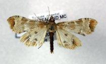 Image of Specimen, Lepidoptera - To light, coastal, scrub/ forest. Tikao Bay, Akaroa, MC. 28/02/2010.
