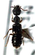 Image of Specimen, Coleoptera - On foodscraps compost bin central urban area. TDC Building, Timaru. 08/03/2009.