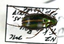 Image of Specimen, Coleoptera - Manuka beetle. Under log, coastal scrub. Tikao Bay, Banks Penins., MC. 27/10/2007.