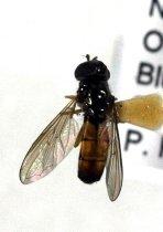 Image of Specimen, Diptera - Fly specimen. Found active on wild flowers in sun, streamside scrub/pasture. Otaio River, Bluecliffs, SC. 06/01/2012,