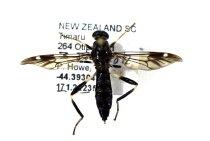 Image of Specimen, Diptera - Garden Soldier fly. Found trapped in house, suburban garden. Highfield, Timaru. 03/01/2013.
