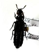 Image of Specimen, Coleoptera - Under hedgehog carcass, dry pasture. Pitt Road Reserve, Geraldine, SC. 13/12/2012.