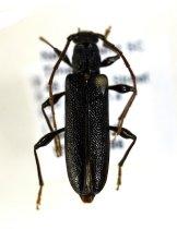 Image of Specimen, Coleoptera - Pinned specimen of Eucalypt longhorn beetle. Timaru, SC. 20/10/2014.