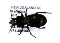 Image of Specimen, Coleoptera - Ground beetle, found under stone, dry scrub/pasture. SH1, Rangitata, SC. 03/11/2014.