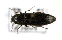 Image of Specimen, Coleoptera - Click beetle. In flight, evening, suburban garden. Highfield, Timaru. 09/12/2014.