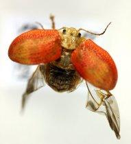 Image of Specimen, Coleoptera - Eucalyptus tortoise beetle. In flight, pasture-scrub. Centennial Park, Timaru. 29/09/2014.