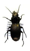 Image of Specimen, Coleoptera - Ground beetle. Under log, podocap-broadleaf forest. Gunns Bush, Waimate, SC. 28/10/2015.