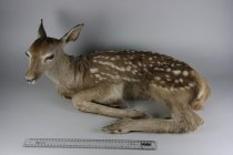 Image of Specimen, Mounted - Red deer fawn mounted in resting position, folded legs, head up. 