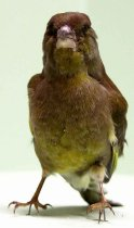 Image of Specimen, Mounted - Greenfinch. Small, khaki wings with yellow and grey under feathers. Found dead in SC Museum grounds, 1999.