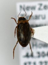 Image of Specimen, Coleoptera - Point-mounted diving beetle. Several in flight, landing on shiny artificial surfaces (dark aircraft wing), humid warm morning, Timaru airport.