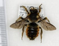 Image of Specimen, Hymenoptera - Wool carder bee. Active on flowers, surburan garden, Highfield, Timaru 17022016.