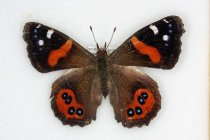 Image of Specimen, Lepidoptera - Pinned red admiral butterfly. active in warm sunshine, suburban garden,  Highfield, Timaru 29 Oct 2016.
