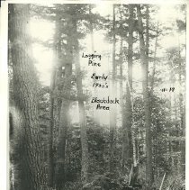 Image of Logging Pine in Blackduck Area - Logging pine in Blackduck area, early 1900s 3 loggers sawing a fallen tree