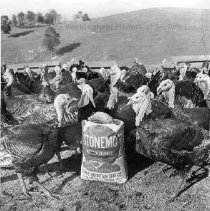 Image of Photo0019.jpg - Bronze turkeys in field on unidentified Rockingham County Farm.
