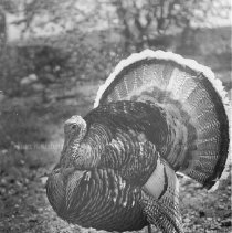 Image of Photo0030.jpg - A turkey, likely in Rockingham County