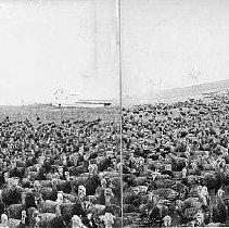 Image of Photo0147ov.jpg - Group of several hundred red (bronze) bronze turkeys