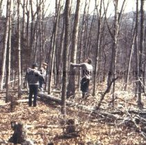 Image of Photo3050.1.jpg - Three men determining which tree to choose for basket making
