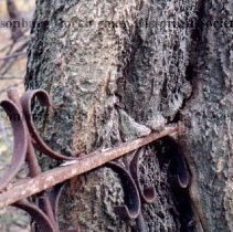 Image of Photo3055.jpg - Belle Grove. Detail of wrought iron fence with tree geinning to grow through it.