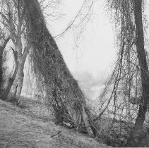 Image of Grapevines on the American River - Swisher, Mary