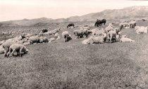 Image of Padlock Sheep