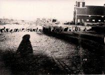 Image of Padlock Ranch Sheep