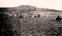 Image of Padlock Lambs