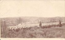 Image of Sheep