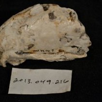 Image of 2013.049.216.009 - oyster shell