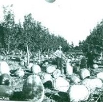 Image of pumpkins being harvested in an orchard 