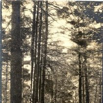 Image of A Walk Thru the Pines at Hotel Champlain                                                                                                                                                                                                                         - 1981.096.0030