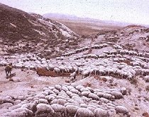Image of Hot Sheep in the Powder River Badlands Near Broadus, Montana