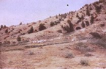 Image of A BAND OF MOUNTAIN SHEEP