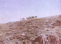 Image of BAND OF MOUNTAIN SHEEP AT TIMBERLINE
