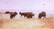 Image of Buffalo Grazing in the Big Open, North Montana