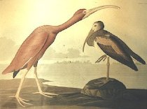 Image of SCARLET IBIS