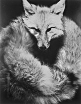 Image of Untitled (fox)