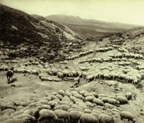 Image of HOT SHEEP IN  THE POWDER RIVER BADLANDS NEAR BROADUS, MT