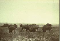 Image of BUFFALO GRAZING THE BIG OPEN, NORTH MONTANA