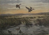 Image of Ducks landing on a marsh