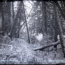 Image of 1977.218.5703 - The Cedars of Lake Colden