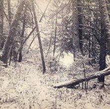 Image of 1982.035.0081 - The Cedars of Lake Colden, Adirondacks