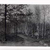 Image of 1999.03.23 - White birch vista, Middlesex Fells