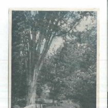 Image of An old elm, South Chatham - An old elm, South Chatham