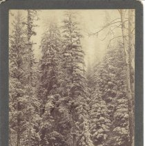 Image of Woman Posing in Pine Forest