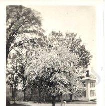 Image of Crabapple Tree at Vittum's (Fred's) - 2011.7.3