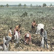 Image of #11277  Cotton pickers in the field Front